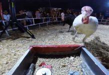 turkey stampede